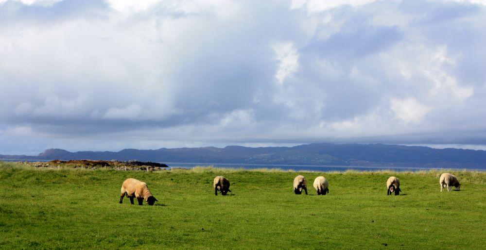 Schafe in allen möglichen Formen, Farben und Größen grasen nicht immer friedlich auf einer Weide am Meer. Sie grasen auch häufiger mal direkt an der Straße. Vorsicht!
